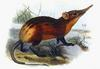 Golden-rumped Elephant Shrew (Rhynchocyon chrysopygus) - Wiki