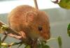 Harvest Mouse (Micromys minutus) - Wiki