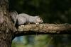 Delmarva Fox Squirrel (Sciurus niger cinereus)