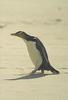 Yellow-eyed Penguin (Megadyptes antipodes) - Wiki