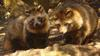 Raccoon Dog (Nyctereutes procyonoides)  - Wiki