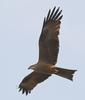 Black Kite (Milvus migrans) - Wiki