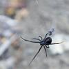 Black Widow Spider (Latrodectus sp.) - Wiki