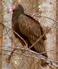 Turkey Vulture (Cathartes aura) - Wiki