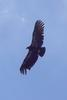 California Condor (Gymnogyps californianus) - Wiki