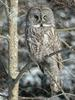 Great Grey Owl (Strix nebulosa) - Wiki