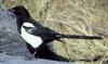 Black-billed Magpie (Pica pica) - Wiki