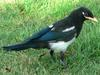 Yellow-billed Magpie (Pica nuttalli) - Wiki