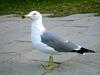 Black-tailed Gull (Larus crassirostris) - Wiki