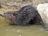 American Beaver (Castor canadensis) - Wiki