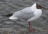 Black-headed Gull (Larus ridibundus) - Wiki