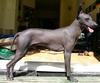 Peruvian Hairless Dog - Wiki