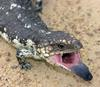 Blue-tongued Lizard (Tiliqua sp.) - Wiki