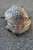 Shingleback / Stump-tailed Skink (Tiliqua rugosa) - Wiki