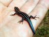 Five-lined Skink (Eumeces fasciatus) - Wiki