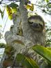 Brown-throated Three-toed Sloth (Bradypus variegatus) - Wiki