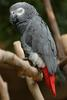 African Grey Parrot (Psittacus erithacus) - Wiki