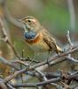 Bluethroat (Luscinia svecica) - Wiki