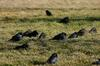 Brewer's Blackbird (Euphagus cyanocephalus) - Wiki