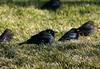 Brewer's Blackbird (Euphagus cyanocephalus)