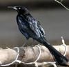 Great-tailed Grackle (Quiscalus mexicanus) - Wiki