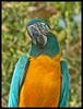 Blue-throated Macaw (Ara glaucogularis) - Wiki