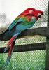 Red-and-green Macaw (Ara chloroptera) - Wiki