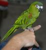 Red-shouldered Macaw (Diopsittaca nobilis) - Wiki