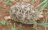 Indian Star Tortoise (Geochelone elegans) - Wiki
