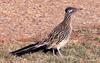 Greater Roadrunner (Geococcyx californianus) - Wiki