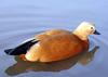 Ruddy Shelduck (Tadorna ferruginea) - Wiki