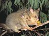 Common Brushtail Possum (Trichosurus vulpecula) - Wiki