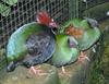 Crested Wood Partridge (Rollulus roulroul) - Wiki