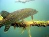 Northern Pike (Esox lucius) - Wiki