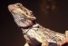 Bearded Dragon (Pogona sp.) - Wiki