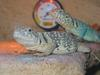 Common Collared Lizard (Crotaphytus collaris) - Wiki
