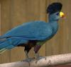 Great Blue Turaco (Corythaeola cristata) - Wiki