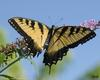 SMP SDC 0168 Butterfly - Yellow Swallowtail
