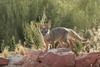 Kit Fox (Vulpes macrotis) - Wiki