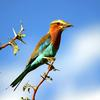 Lilac-breasted Roller (Coracias caudata) - Wiki