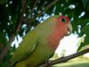 Peach-faced Lovebird (Agapornis roseicollis) - Wiki