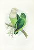 Grey-headed Lovebird (Agapornis cana) - Wiki