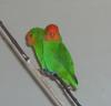 Red-headed Lovebird (Agapornis pullarius) - Wiki