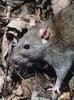 Brown Rat (Rattus norvegicus) - Wiki