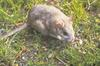 Bushy-tailed Woodrat (Neotoma cinerea) - Wiki