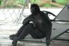 Spider Monkey (Ateles sp.) - Wiki