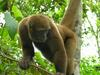 Woolly Monkey (Lagothrix sp.) - Wiki