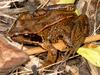 Common Frog (Rana temporaria) - Wiki