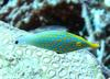 Orange Spotted Filefish (Oxymonacanthus longirostris) - Wiki