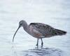 Long-billed Curlew (Numenius americanus) - Wiki